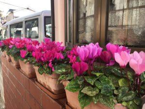 3月23日綺麗に咲いたシクラメン